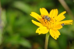 Closeup shot of bee in yellow flower. Stock Photography