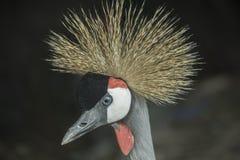 Closeup shot of Black Crowned Crane or Kaffir Crane Bird Stock Photos