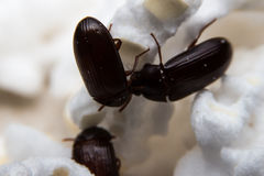 Closeup shot of a Black Forest dung beetle stock photo
