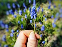 Closeup shot of blue muscari flowers bloom in the garden in spring