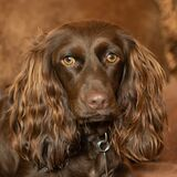 Closeup shot of a Boykin Spaniel dog with a blurry background