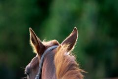 Closeup shot of brown horse`s ears listening to the sounds of danger in the forest