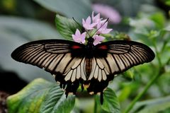 Closeup shot of a butterfly with black and white wings resting on a flower