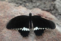 Closeup shot of a butterfly with black wings and white stripes at the bottom of the wings