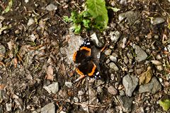 Closeup shot of butterfly on the ground in the forest. Ground background of soil, rocks, foliage, leaves royalty free stock image