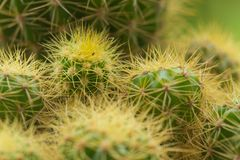 Closeup shot of a cactus royalty free stock photography