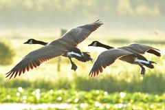 A closeup shot of a Canada Geese flying. stock photo