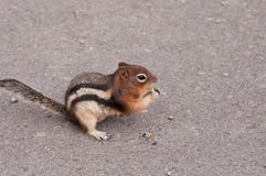 Closeup of chipmunk eating Royalty Free Stock Photography