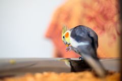 Closeup shot of a cockatiel bird with blurred background