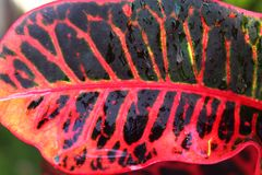 A closeup shot of a colorful croton leaf with rain drops . Royalty Free Stock Photos