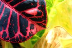 A closeup shot of a colorful croton leaf with rain drops . Stock Photos