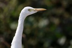 Common cattle egret. Closeup shot of common white cattle egret royalty free stock photos