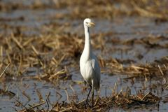 Common cattle egret royalty free stock photography