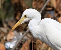 Common cattle egret. Closeup shot of common white cattle egret stock photography