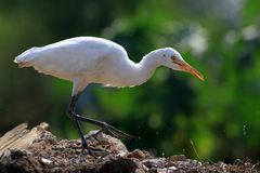 Common cattle egret. Closeup shot of common white cattle egret stock photo
