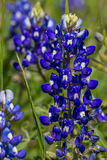 A Closeup Shot of a Couple of the Famous Texas Bluebonnet Wildflowers. Royalty Free Stock Photos