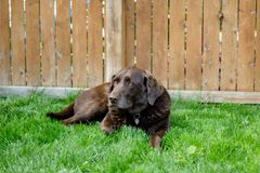 Closeup shot of a cute brown dog laying in the grass near a wooden fence royalty free stock photos