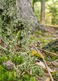 Ground cover vegetation. Closeup shot of a dense ground cover vegetation on a tree trunk with moss and lichen in forest ambiance Royalty Free Stock Photos