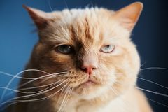 Displeased cat looking at camera royalty free stock photo