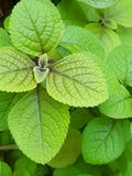 Lemon balm leaves. A closeup shot of the foliage of a lemon balm plant Stock Images
