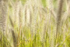 Closeup shot of the Foxtail growing in the wild fields in Missouri