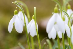 Fresh first snowdrops blooming Royalty Free Stock Image