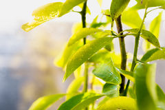 Closeup shot of fresh green leaves covered by dew Stock Photography