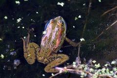 Closeup shot of a frog Royalty Free Stock Image