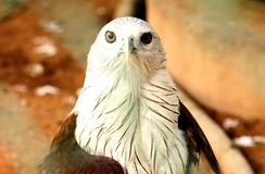 Closeup shot and Front view of Bald Eagle. Bald Eagle Accipitridae landscape closeup at VOC park in Coimbatore. Closeup shot and Front view stock photo