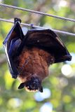 Fruit eater bat. Closeup shot of fruit bat hanging on wire Royalty Free Stock Photography