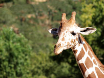 Closeup Shot Of Giraffe Head And Neck Royalty Free Stock Image