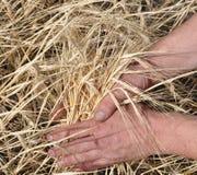 Closeup shot of gold wheat at hands Stock Photo