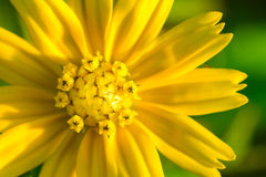 Closeup shot of a golden button flower Royalty Free Stock Image
