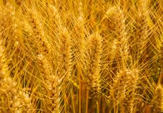 Closeup shot of golden wheat field at sunny summer day. Organic golden ripe ears of wheat in field, soft focus, closeup, agriculture background royalty free stock photography