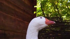 Closeup shot of a goose head beak stock video footage