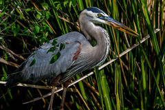 A Closeup Shot of a Great Blue Heron, Hunting in Braxos Bend Royalty Free Stock Photography