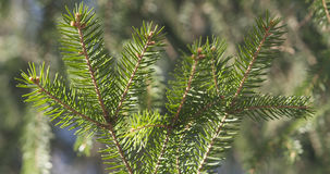 Closeup shot of green fir sways on wind in spring sunny morning. 4k photo Royalty Free Stock Photography