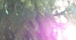 Closeup shot of green fir sways on wind in spring sunny morning with light leaks. 4k photo Royalty Free Stock Photo