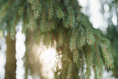 Closeup shot of green fir sways on wind in spring sunny morning with light leaks. Shallow focus Royalty Free Stock Photos