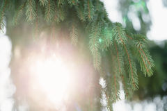 Closeup shot of green fir sways on wind in spring sunny morning with light leaks. Shallow focus Royalty Free Stock Images