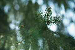 Closeup shot of green fir sways on wind in spring sunny morning with light leaks. Shallow focus Stock Photo