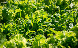 Closeup shot of growing fresh green lettuce at sunny day Stock Images
