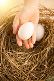 Closeup shot of hand holding white egg against nest lit by sun Royalty Free Stock Photo