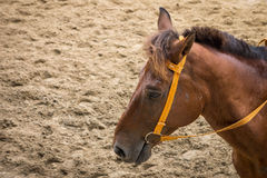 Closeup shot of head of brown horse Royalty Free Stock Photography