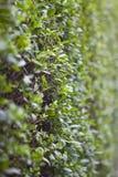Closeup shot of a hedge Stock Photo