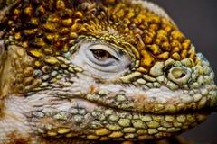 Closeup shot of a land iguana in the Galapagos Royalty Free Stock Photo