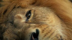 Lion Opens Eye Closeup. Closeup shot of lion resting and opening its eye stock video