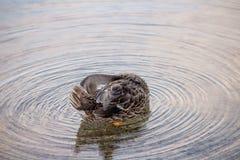Closeup shot of a mallard duck cleaning its self in a water. A closeup shot of a mallard duck cleaning its self in a water royalty free stock photo