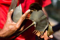 Closeup shot of man holding Horseshoe. Crab with hand Stock Image
