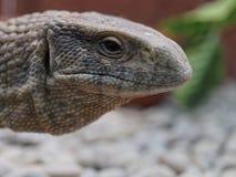 Closeup shot of Monitor lizard, Komodo dragon, head in the zoo Stock Photos